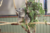 Brisbane City Guide (aka The One With The Koalas)
